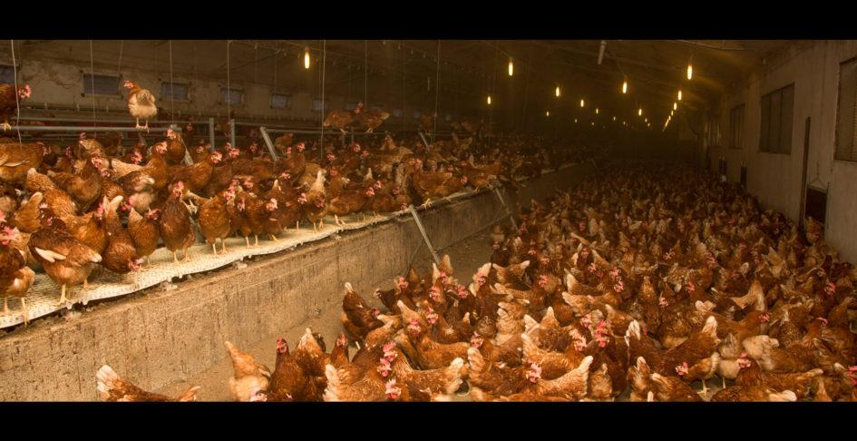 vida-de-galinha1casa-do-aido