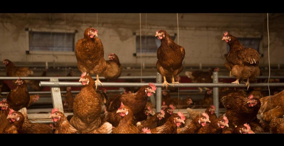 vida-de-galinha2-casa-do-aido